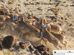 Deer vs Mouflon