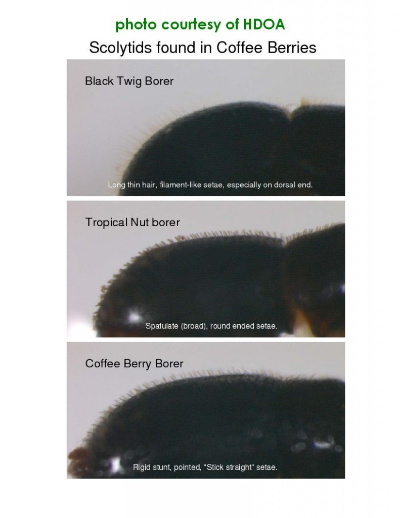 how to know Scolytids found in Coffee berries-1